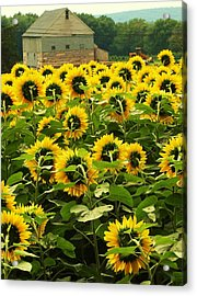 Tall Sunflowers Acrylic Print by John Scates
