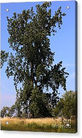 Tall Tree Acrylic Print by Sophie Vigneault