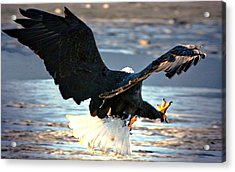 Talons Acrylic Print by Carrie OBrien Sibley