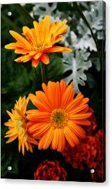 Tangerine Colored Gerbera Daisies Acrylic Print by Kay Novy