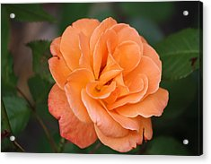 Acrylic Print featuring the photograph Tangerine Rose by Donna  Smith