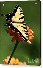 Tantalizing Tiger Swallowtail Butterfly Acrylic Print by Sabrina L Ryan