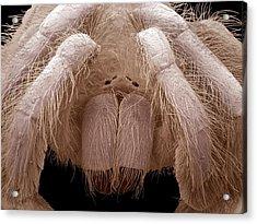 Tarantula Chelicerae Acrylic Print by Steve Gschmeissner