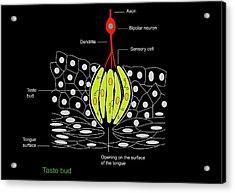 Taste Bud Anatomy, Diagram Acrylic Print