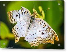 Acrylic Print featuring the photograph Tattered Moth by Shannon Harrington