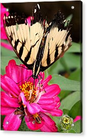 Acrylic Print featuring the photograph Tattered Wings Number Two by Paula Tohline Calhoun