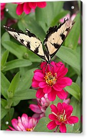 Tattered Wings Acrylic Print