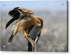 Tawny Eagle Acrylic Print by Alan Clifford