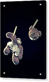 Teddy Without Head Acrylic Print