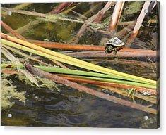 Teeny Tiny Turtle Acrylic Print by Rosalie Scanlon