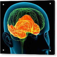 Temporal Lobes In The Brain, Artwork Acrylic Print