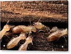 Termites Acrylic Print by George Grall