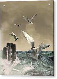 Terns In The Wind Acrylic Print