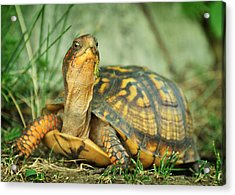 Terrapene Carolina Eastern Box Turtle Acrylic Print by Rebecca Sherman