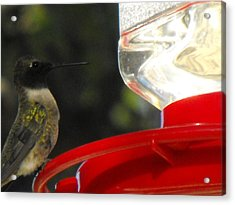 Texas Hummingbird Acrylic Print by Rebecca Cearley