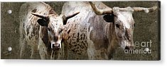 Texas Longhorns Acrylic Print by Betty LaRue