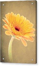 Textured Gerbra Acrylic Print by Fiona Messenger