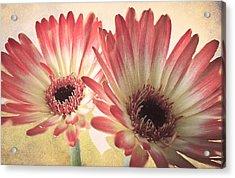 Textured Gerbras Acrylic Print by Fiona Messenger