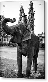Thai Elephant Roar Acrylic Print by Thanh Tran