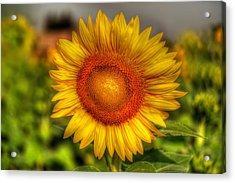 Thai Sunflower Acrylic Print by Adrian Evans