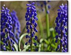 That Purple Herb Acrylic Print by Lawrence Ott