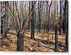The Bare Stalks Of Tree Ferns Rise Acrylic Print by Jason Edwards
