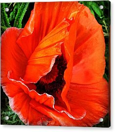 The Beautiful Icelandic Poppy Acrylic Print