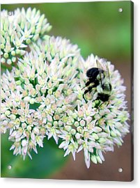 The Bees Knees Acrylic Print