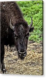 The Bison Stare Acrylic Print by Karol Livote
