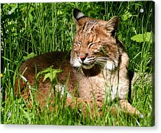 Acrylic Print featuring the photograph The Bobcat's Afternoon Nap by Laurel Talabere