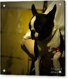 The Boston Bull Terrier  Acrylic Print by Steven  Digman