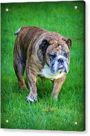 Acrylic Print featuring the photograph The Bulldog Shuffle by Jeanette C Landstrom