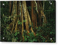 The Buttressed Roots On A Strangler Fig Acrylic Print by Steve Winter