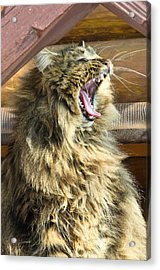 The Cat Who Loves To Sing Acrylic Print