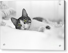 The Cat  Acrylic Print by Zafer GUDER