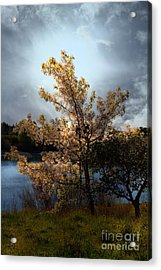 The Cherry Blossom Tree . 7d12703 Acrylic Print by Wingsdomain Art and Photography