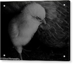 The Chick Acrylic Print by Heather  Boyd