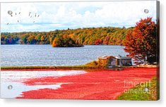 The Cranberry Farms Of Cape Cod Acrylic Print by Gina Cormier