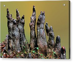 The Cypress Knees Chorus Acrylic Print by Kristin Elmquist