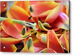 The Day The Tulip Exploded Acrylic Print by George Crawford