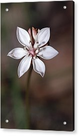 The Delicate Pastel Pink Flower Acrylic Print by Jason Edwards