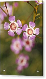 The Delicate Pink Petals Acrylic Print by Jason Edwards