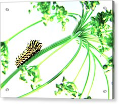 The Dill Express Acrylic Print