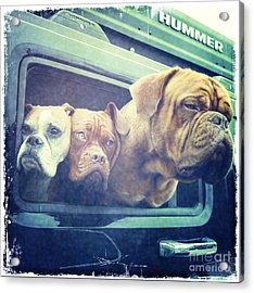 The Dog Taxi Is A Hummer Acrylic Print by Nina Prommer