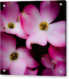 The Dogwood Flower Acrylic Print by David Patterson