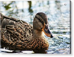 The Duck 69 Acrylic Print by Carolina Artemis Tamvaki