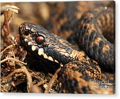 The Eye Of The Adder Acrylic Print by Clare Scott
