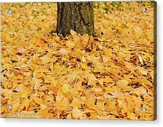 Acrylic Print featuring the photograph The Fall Of Ginkgo by Rachel Cohen