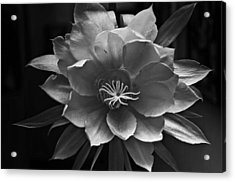 The Flower Of One Night Acrylic Print by Tom Bell