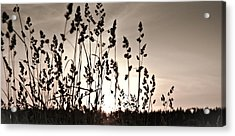 The Grass At Sunset Acrylic Print